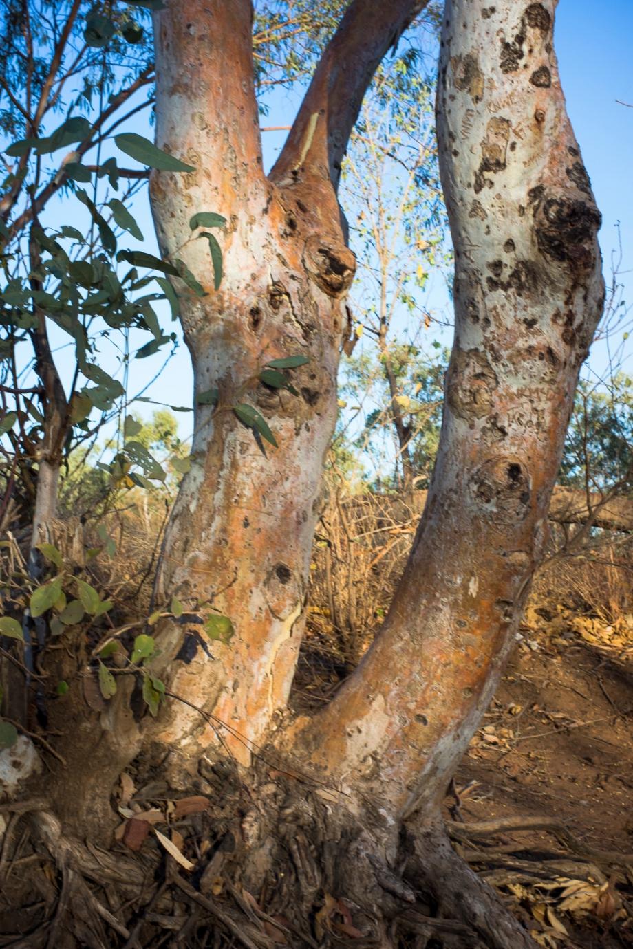 Tree, Hooker Creek